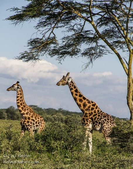 Rothchild's Giraffe-3655