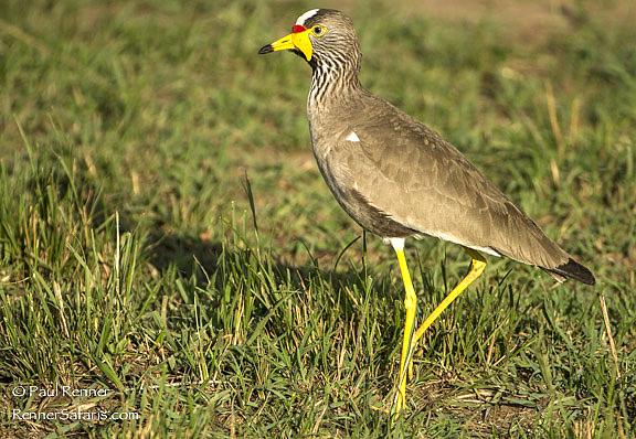 Wattled Plover, Masai Mara, Kenya-6160