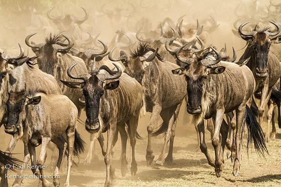 Wildebeest Running, Masai Mara, Kenya-5893