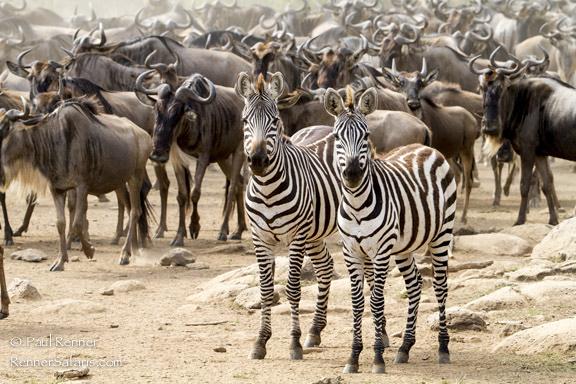 Zebra and Wildebeest, Masai Mara, Kenya-5956