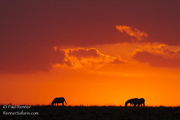 Zebras at Sunset, Masai Mara, Kenya-6775