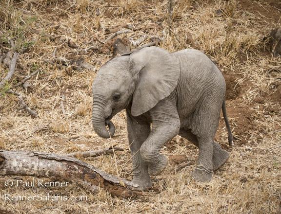 Baby Elephant Walk-9273