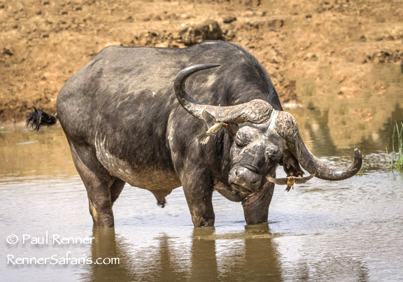 Cape Buffalo Shaking Off Red-Billed Oxpeckers-4977