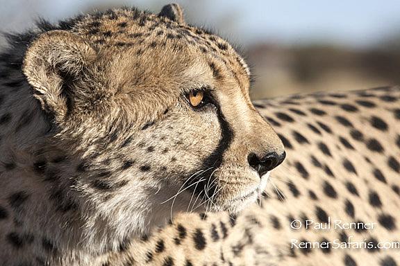 Cheetah-9458