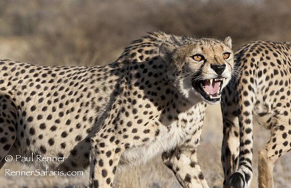 Cheetah Snarling   -9552