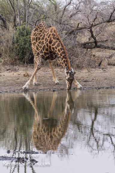 Giraffe Drinking-0617