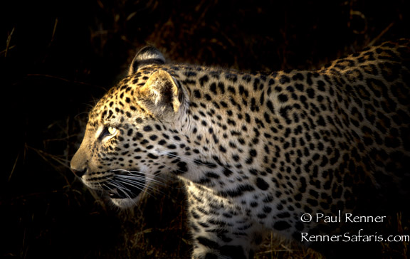 Leopard Hunting-