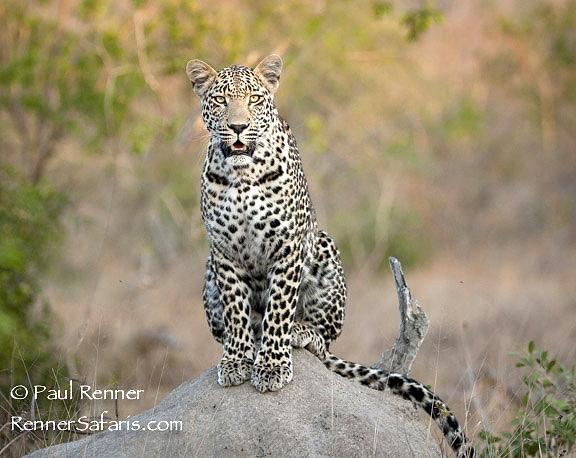Leopard On a Termite Mound-6015