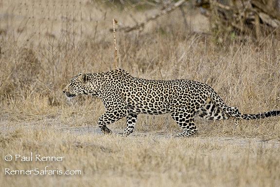 Leopard Stalking Impala-6055-2