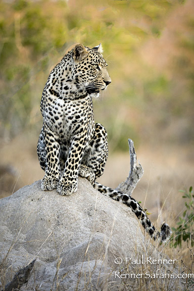 Leopard on a Termite Mound-6024
