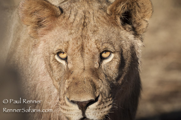 Lion Eyeing Tracker-7457