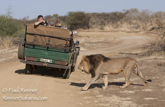 Lion Walking Past Vehicle-8263