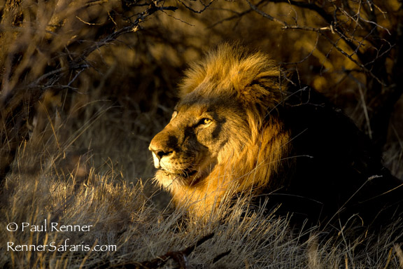 Lion in the Light-