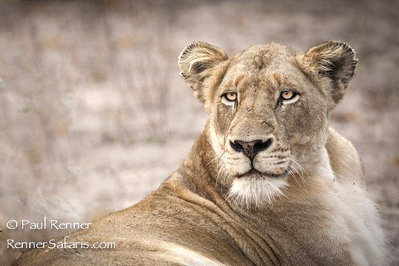 Lioness on Alert-6080