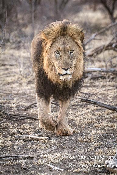 Male Lion-1759