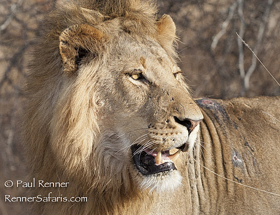 Male Lion Showing Signs of Battle-5528