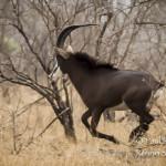 Sable Antelope Running-8348