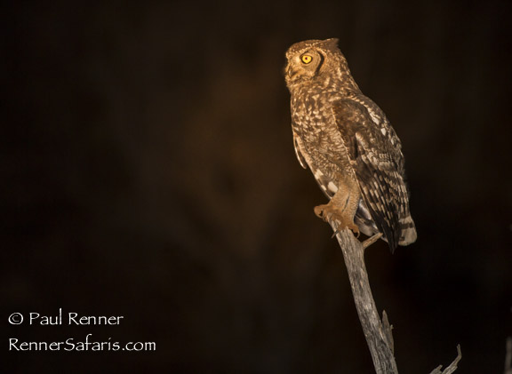Spotted Eagle-Owl-1980