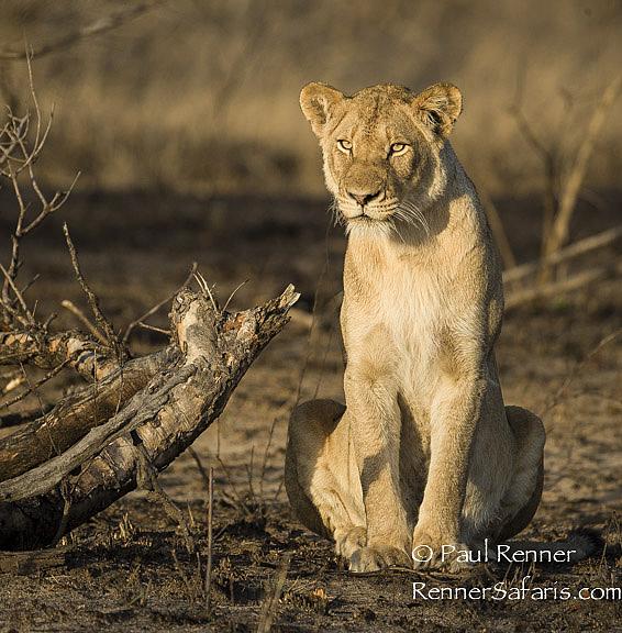 Vigilant Lioness-9033