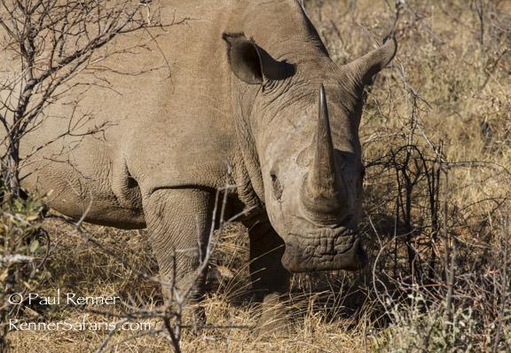White Rhino-0933