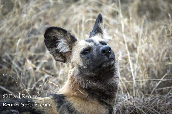 Wild Dog-7356