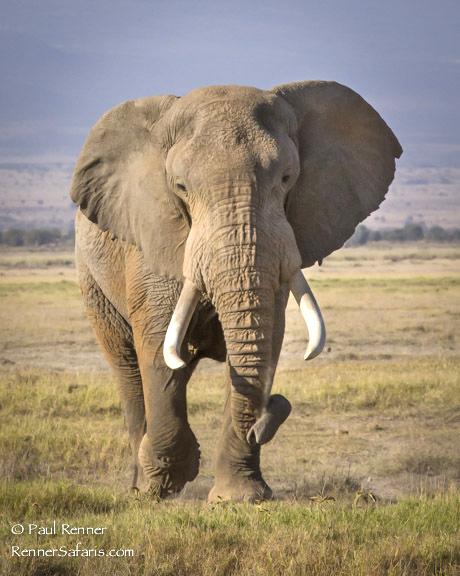 African Bull Elephant 2-5646