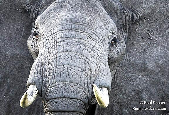African Bull Elephant-2923