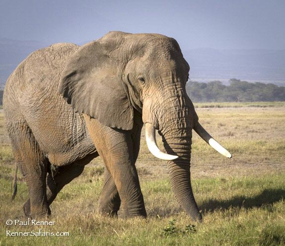African Bull Elephant 3-5663