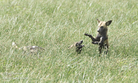 African Wild Dogs Playing-2316