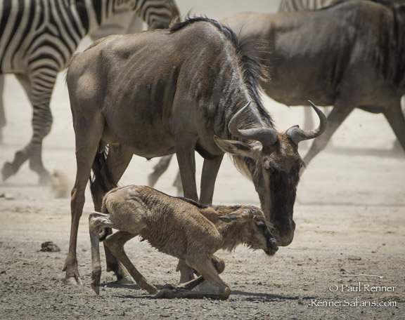 Baby Wildebest Trying to Stand-1100