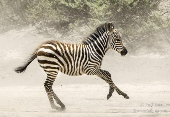 Baby Zebra Running-2