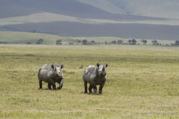 Black Rhinos-5432