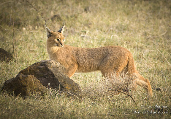 Caracal on the Prowl-2650
