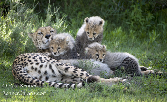 Cheetah Family Time-