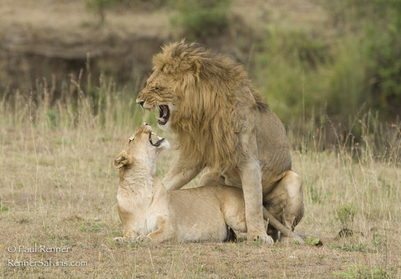 Mating Lions-3796