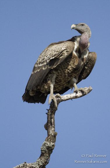 Rupells Griffon Vulture-5338
