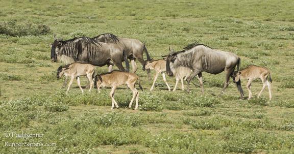 Wildebeest and Calves-0766