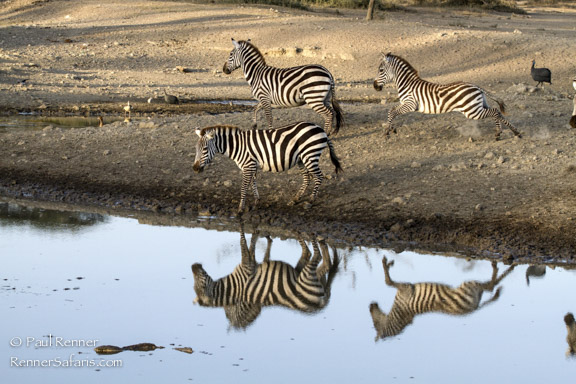 Zebra Kicking Up Dust at the Water hole-5036-2