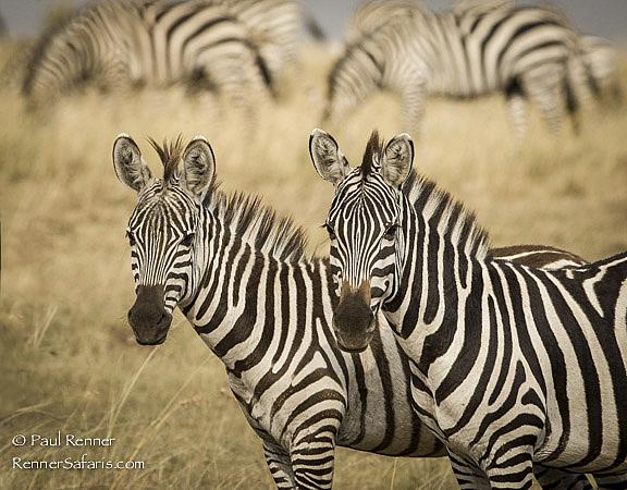Zebras Watching-3921