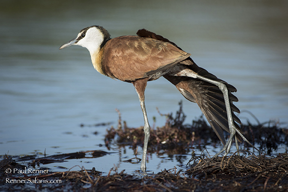 African Jacana Stretching Wing-4182