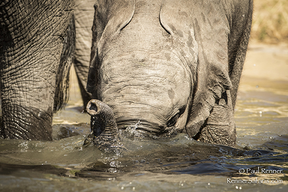 Baby Elephant Drinking Water-7388
