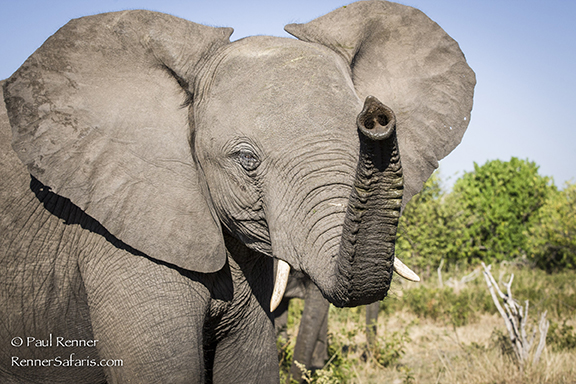 Elephant Sniffing the Breeze-7026