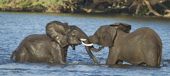 Elephants Playing in Chobe River-