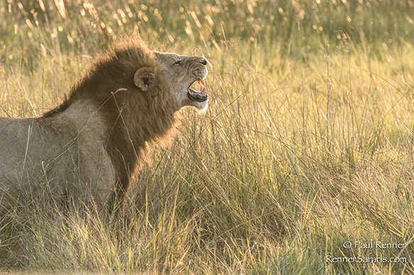 Male Lion in Botswana-3785-2