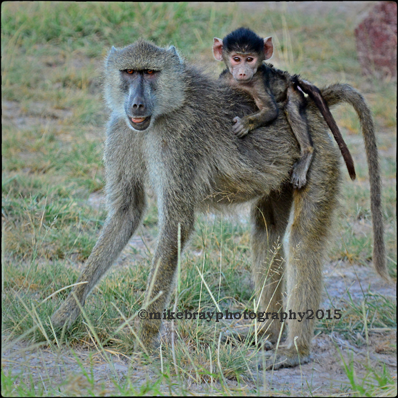 Baboon and baby c