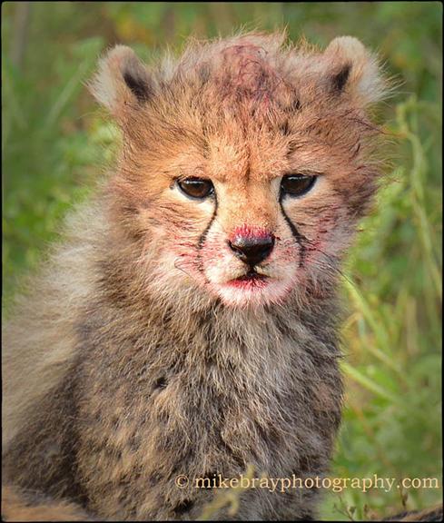 Cheetah cub 12 c2