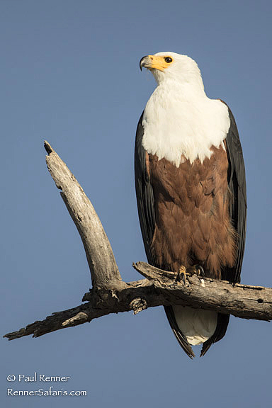 African Fish Eagle-6168