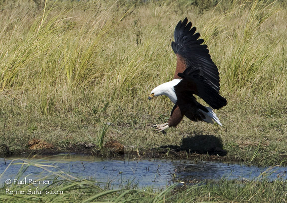 African Fish Eagle-8425