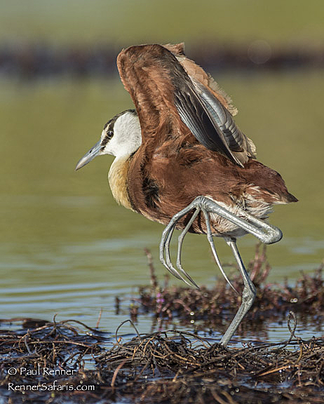 African Jacana or Lilly Trotter-4165