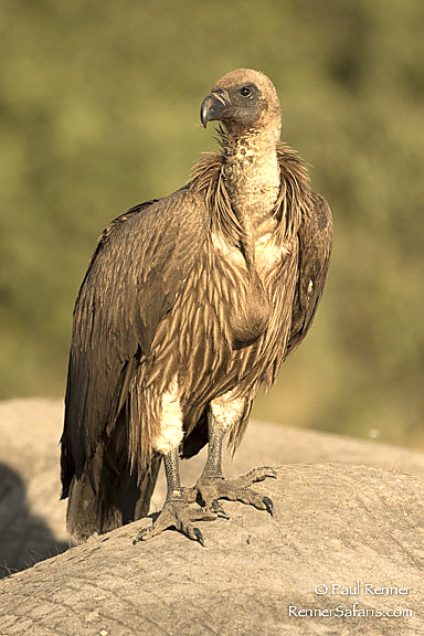 African White Backed Vulture  -6912-2